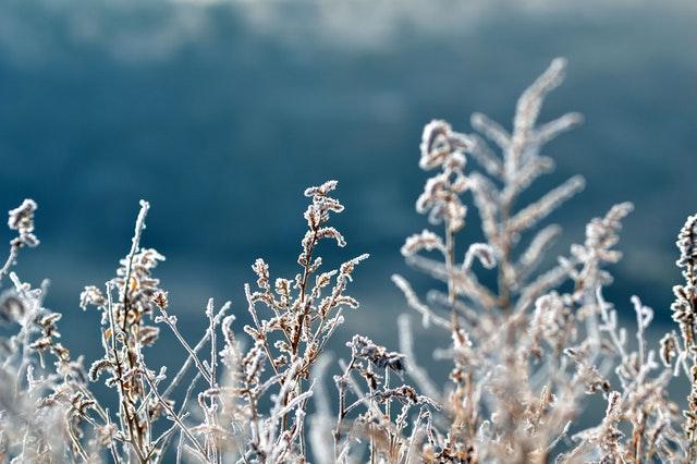 zmrzlé rostliny